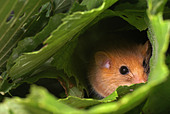 Hazel dormouse (Muscardinus avellanarius) - Stock Image - AM88DG