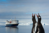 Gentoo penguins with open bills on a beach in front of a cruise ship. - Stock Image - C28NKB