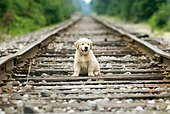 Golden Retriever Puppy - Stock Image - BDKJ4P