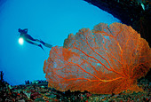 Diver and Red Sea Fan Similan Islands Thailand - Stock Image - ATC99T