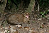 JAGUARUNDI Herpailurus yaguarondi In Belize - Stock Image - A0HDK2