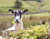 "Holwick, Middleton-in-Teesdale, Co Durham UK. 21st August 2015  ""The grass is always greener on the other side"" - appropriate on this warm summer's day as a sheep finds the taste of a neighbours garden hedge a tasty alternative source of food to the grass in its own field in Upper Teesdale in the North Pennine Hills. (c) Jim Nicholson/Alamy Live News - Stock Image - F0W4E4"