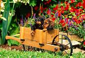 Dachshund Puppies In Garden - Stock Image - AG3YB4