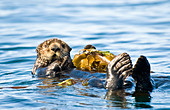 USA Alaska Sea Otter resting on kelp bed in ocean - Stock Image - B0M29Y