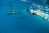 Snorkeling with Spinner Dolphins, Stenella longirostris, Shaab Rumi, Red Sea, Sudan - Stock Image - CBMRNW