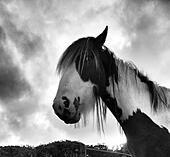 Horse head - Stock Image - S0685F