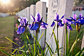 Close up of flowers growing on grave - Stock Image - C92EJX