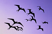 Magnificent frigate birds in flight, Fregata magnificens, Belize - Stock Image - BFFY24