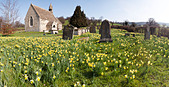 A panoramic view of daffodils in springtime at the church of St John the Baptist in the village of Harescombe, Gloucestershire - Stock Image - C1YGTM