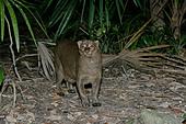 JAGUARUNDI Herpailurus yaguarondi In Belize - Stock Image - A0HDH2