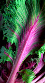 Close up strips of kohlrabi lettuce - Stock Image - A5M704