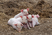 Piglets sleeping in a heap for warmth - Stock Image - BP79HM