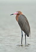 Reddish Egret (Egretta rufescens) - South Padre Island, Texas, United States of America - Stock Image - CFDGPN