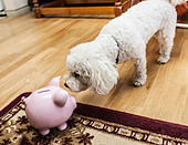 Dog examining piggy bank in living room - Stock Image - D2AB2H