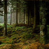 Moss covered rocks in Scottish forest - Stock Image - A27XH4