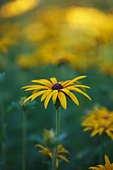 Rudbeckia in soft summer sunshine - Stock Image - BF444W
