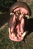 Pygmy hippopotamus Hexaprotodon liberiensis Aggression is shown by opening mouth and displaying teeth Distribution West African - Stock Image - AN34D8