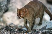 jaguarundi (Felis yagouaroundi tolteca). - Stock Image - EBHB0H