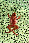 Wood Frog (Rana sylvatica) Egg Mass, Nova Scotia - Stock Image - B8D1EY
