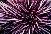 Purple Sea Urchin (Strongylocentratus purpuratus) feeding on kelp. Channel Islands, California (USA) - Pacific Ocean - Stock Image - C7HB1F