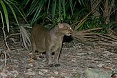 JAGUARUNDI Herpailurus yaguarondi In Belize - Stock Image - A0HDGB