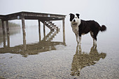 Dog wading in still lake - Stock Image - CNTYCY