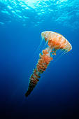 Giant Jellyfish Chrysaora sp California Pacific Ocean - Stock Image - ATDNXK