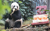 "Hongkong. 28th July, 2015. Jia Jia, a female panda turning 37, enjoys her food in south China's Hong Kong, July 28, 2015. Officially recognized as the ""Oldest panda ever in captivity"" and ""Oldest Panda living in capativity"" by Guinness World Records, Jia Jia celebrated her 37th birthday in Hong Kong Ocean Park along with three other pandas on Tuesday. © Lyu Xiaowei/Xinhua/Alamy Live News - Stock Image - EYEFWM"