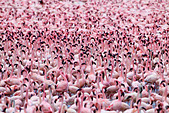 Lesser Flamingo (Phoenicopterus minor) at Lake Bogoria.Kenya - Stock Image - C4XCGN