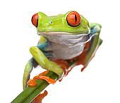 Red eyed Tree Frog Agalychnis callidryas in front of a white background - Stock Image - B9GEP6