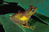 Red-backed Bright-eyed Frog (Boophis bottae), female with eggs in body, Andasibe-Mantadia National Park, Madagascar - Stock Image - BGR1C3