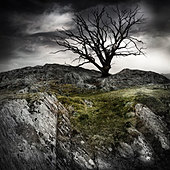 lonely old tree - Stock Image - CRY101