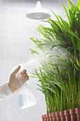 Scientist spraying plants - Stock Image - AKE16X