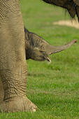 Whipsnade Zoo, Bedfordshire, UK, 18th September 2014, New born Baby Asian Elephant weighing 133kg at birth shelters under protective mother Azizah in a large grassy paddock. Born on Tuesday Sept 16th, there will be a competition to find a name. Parmjit Singh Bhandol/Alamy Live News - Stock Image - E7HG3T