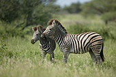 two Zebras - Stock Image - AHBG24