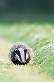 Young Badger foraging in hay field near Taunton Somerset - Stock Image - BMR0CC