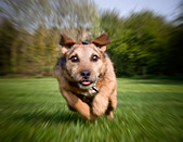 terrier dog running full speed straight at the camera - Stock Image - BMBG19