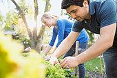 Couple tending to plants in vegetable garden - Stock Image - E3RJ0T
