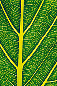 Structure of a healthy leaf - Stock Image - B6NC2M