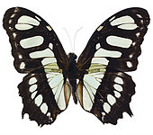 Butterfly with open wings on white background - Stock Image - E87EM7