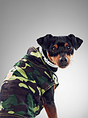 Dog wearing collared jacket - Stock Image - CT1HC4