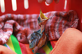 Young bird with open beak - Stock Image - DN7RJ9