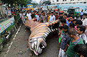 Dhaka, Bangladesh.  21 August 2015. The Royal Bengal Tiger mural placed in front of Suderban Hotel at Karwan Bazar intersection fell down and caused one unidentified rickshaw puller's death in the capital at around 4:00 am on early Friday morning. Photo by © palash khan/Alamy Live News - Stock Image - F0TKAM