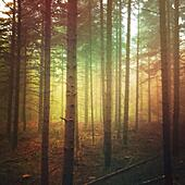 Moody dark forest on foggy day - Stock Image - S04N84