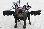 """London, UK. 26 October 2014. Black pug """"Beans"""", 9 months, with bat wings. Dogs dressed in Halloween costumes and their owners, some also in costume, gathered at the Spaniard's Inn pub before embarking on the annual Halloween Dog Walk on Hampstead Heath organised by animal charity """"All Dogs Matter"""". © Nick Savage/Alamy Live News - Stock Image - E9E14J"""