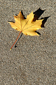 Single Yellow Maple Leaf on Concrete on a Bright Sunny Day with Copy Space - Stock Image - AJXMYN