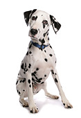 Dalmatian dog - sitting - cut out - Stock Image - BCYFCE