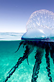 Over/under view of a Portuguese Man of War, a jelly-like marine invertebrate of the Family Physallidae. - Stock Image - C2A9PX