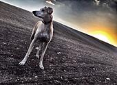Alert dog against the setting sun - Stock Image - S06MRF