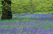 Bluebells beneath trees - Stock Image - AG2205